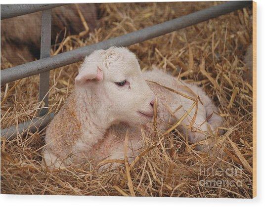 Baby Lamb Wood Print