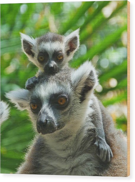 Baby Lemur Views The World Wood Print