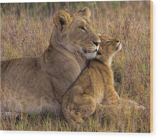 Baby Lion With Mother Wood Print by Henry Jager
