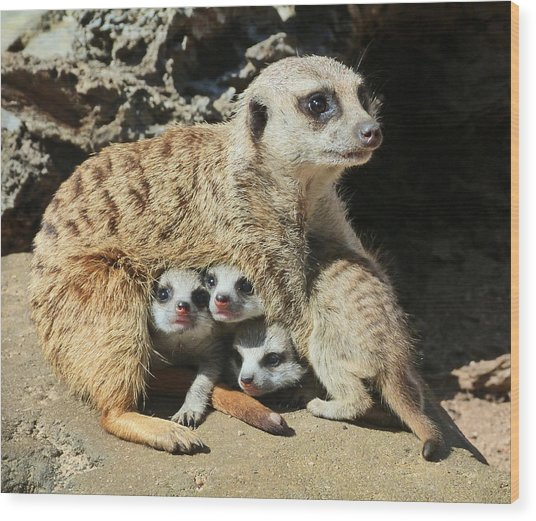 Baby Meerkats View The World Wood Print