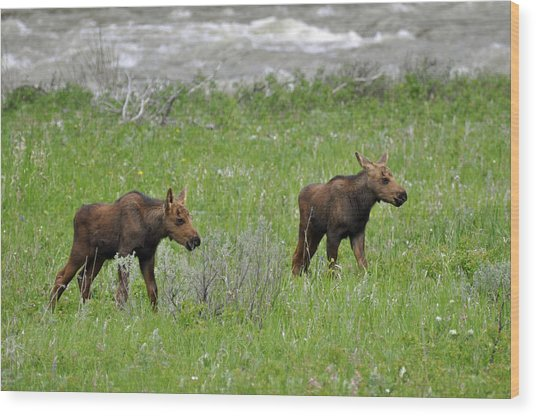 Baby Moose On The Banks Of The Gallatin Wood Print