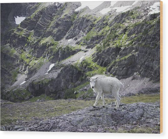 Baby Mountain Goat At Comeau Pass Wood Print