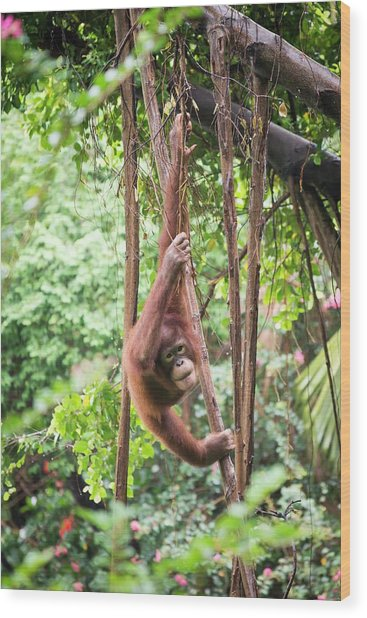 Baby Orangutan Wood Print by Pan Xunbin