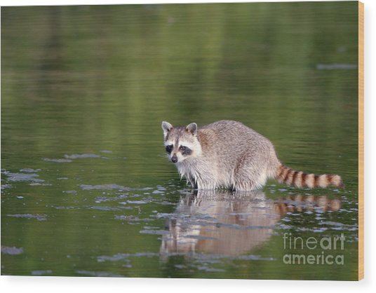 Baby Raccoon In Green Water Wood Print