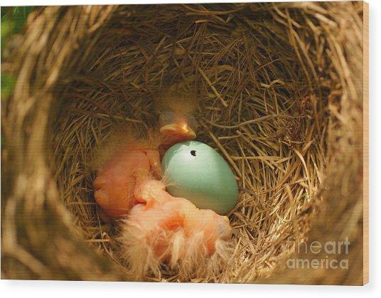 Baby Robins2 Wood Print