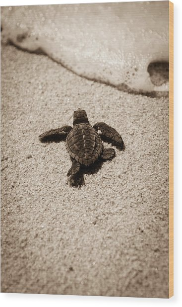 Baby Sea Turtle Wood Print