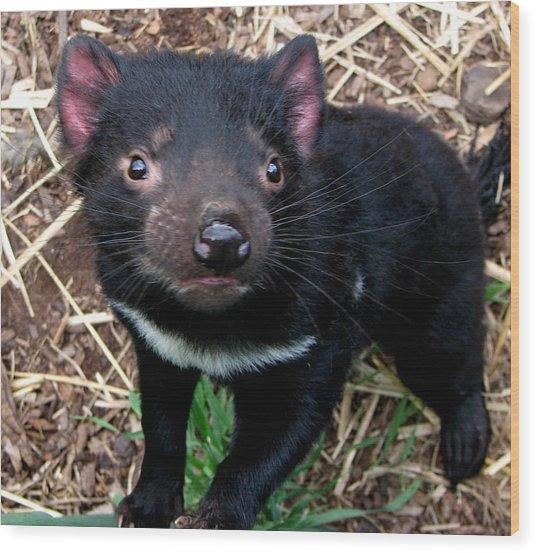 Baby Tasmanian Devil Wood Print by Alexey Dubrovin