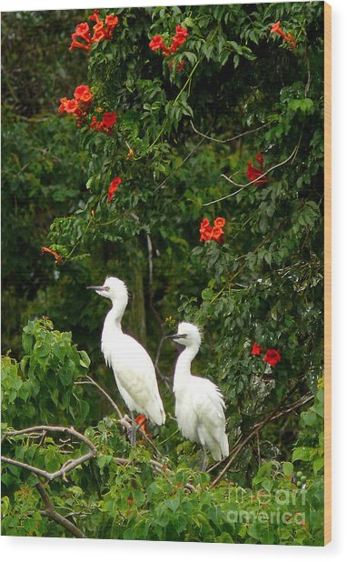 Baby White Egrets Wood Print