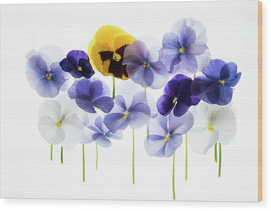 Backlit Pansies Wood Print by Photostock-israel/science Photo Library