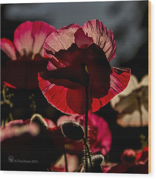 Backlit Poppy #2 Wood Print