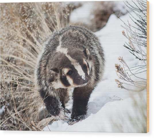 Badger In The Snow Wood Print