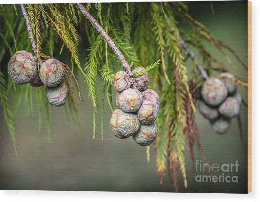 Bald Cypress Tree Seed Pods Wood Print