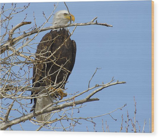Bald Eagle And Branches 2 Wood Print