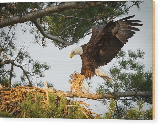 Bald Eagle Building Nest Wood Print