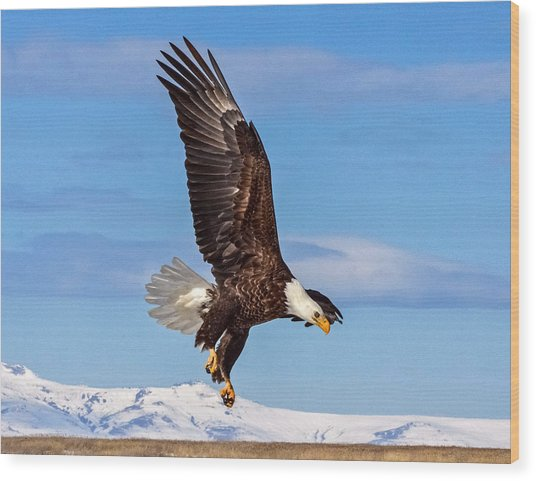 Bald Eagle Comming Down Wood Print