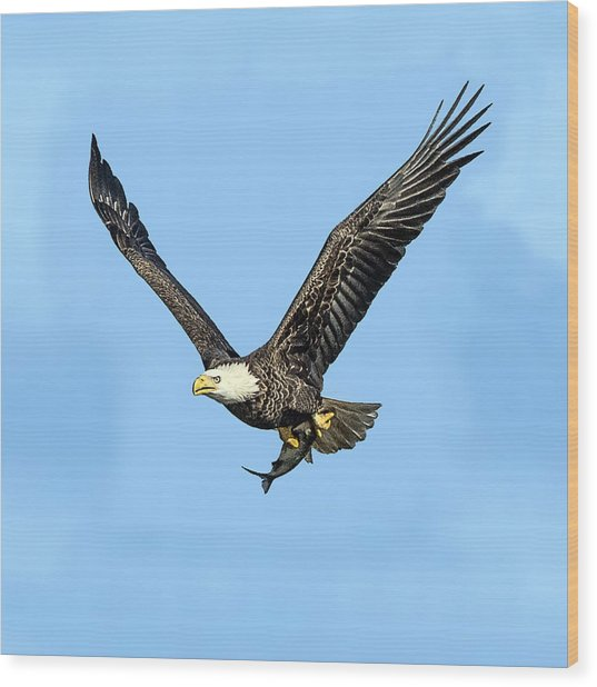 Bald Eagle Flying Holding Freshly Caught Fish Wood Print