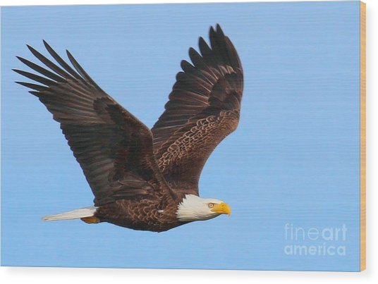 Bald Eagle In Flight Wood Print