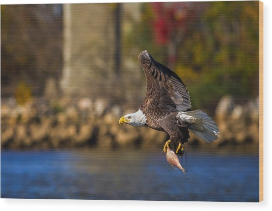 Bald Eagle In Flight Over Water Carrying A Fish Wood Print