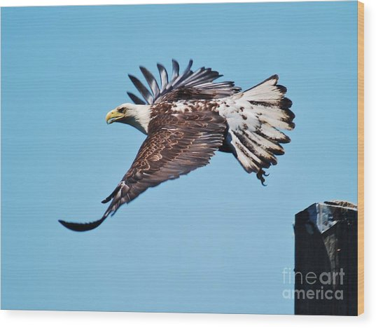 Bald Eagle In Ucluelet Wood Print