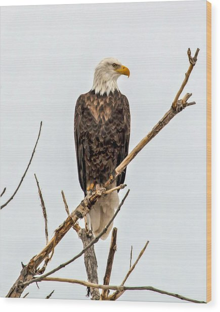 Bald Eagle On A Branch Wood Print