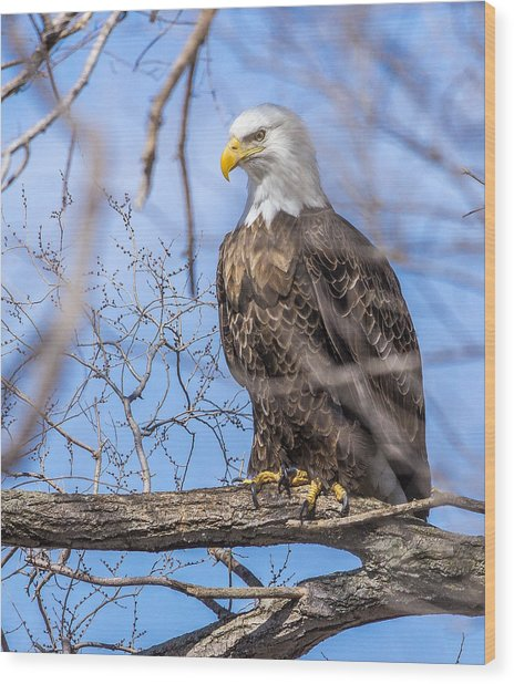 Bald Eagle On The Iowa River Wood Print