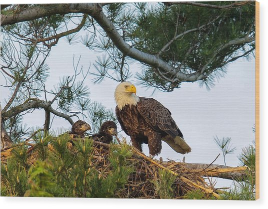 Bald Eagle With Eaglets  Wood Print