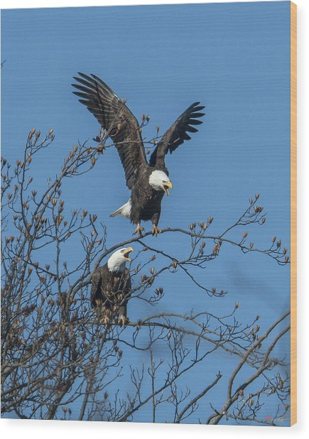 Bald Eagles Screaming Drb169 Wood Print