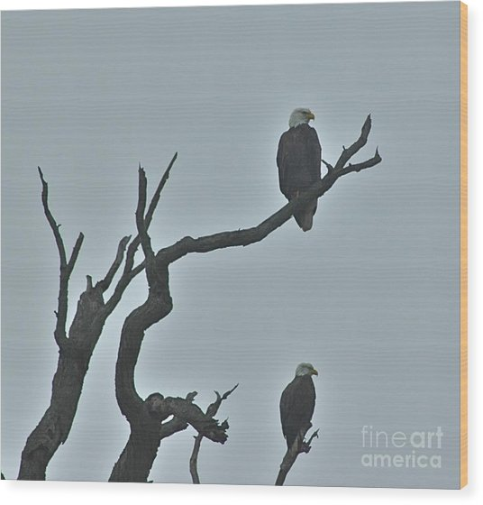 Bald Eagles  Wood Print