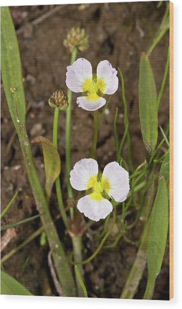 Baldellia Ranunculoides In Flower Wood Print by Bob Gibbons