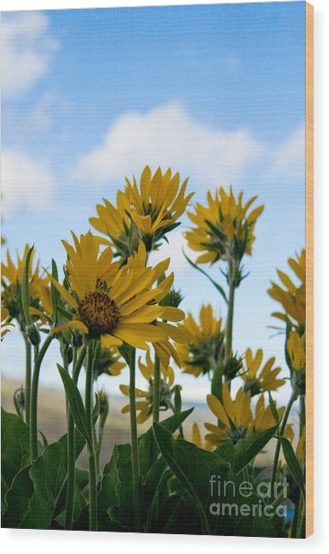 Balsamroot Reaching For The Sky Wood Print by Cari Gesch