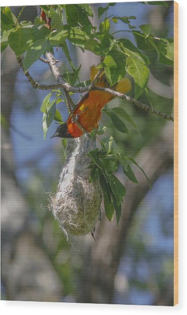 Baltimore Oriole And Nest Wood Print by Jill Bell