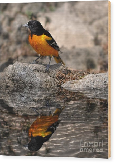 Baltimore Oriole  Wood Print