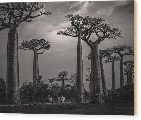 Baobab Highway Wood Print