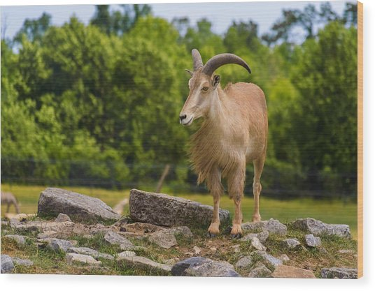 Barbary Sheep Wood Print
