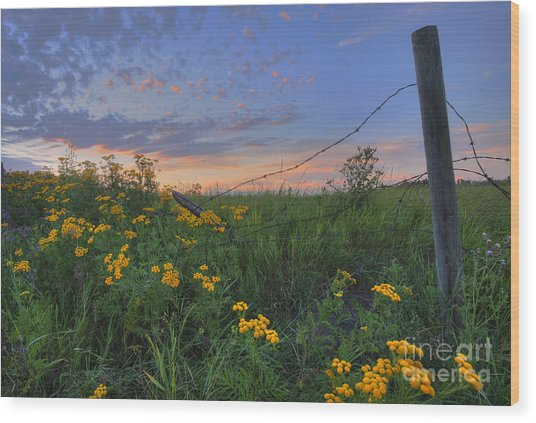 Barbed Wire And Common Tansy Wood Print