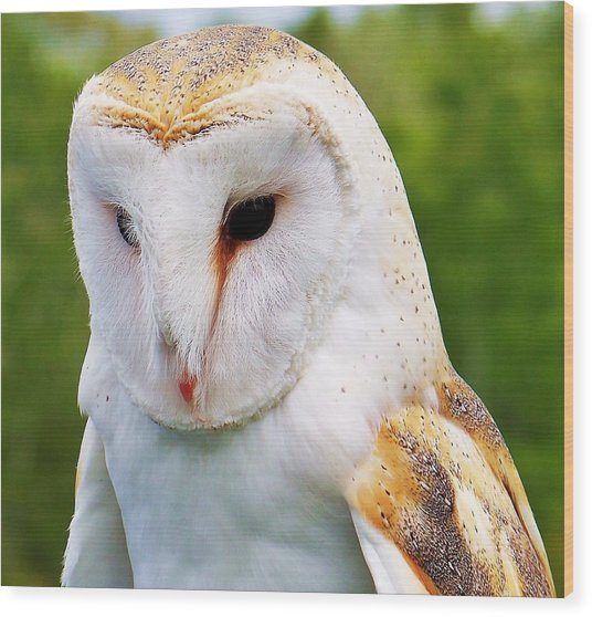 Barn Owl... Wood Print