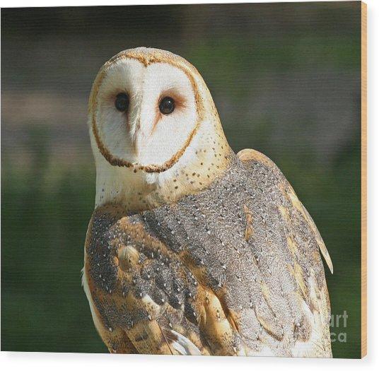 Barn Owl In Bright Sun Wood Print