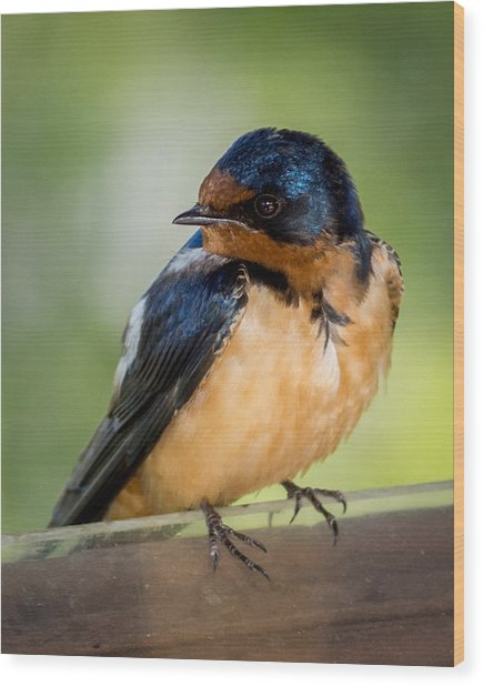 Barn Swallow Wood Print