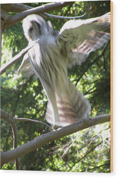 Barred Owl Angelic Liftoff Wood Print