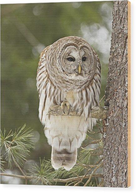 Barred Owl Hunting Wood Print