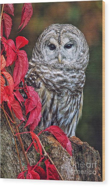 Barred Owl II Wood Print by Todd Bielby