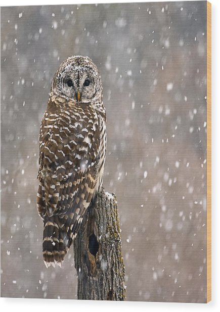 Barred Owl In A New England Snow Storm Wood Print