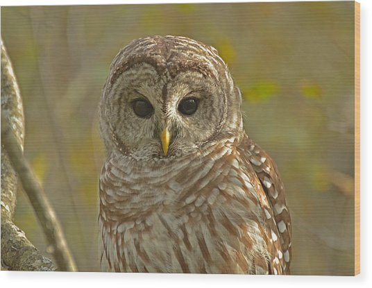 Barred Owl Looking At You Wood Print