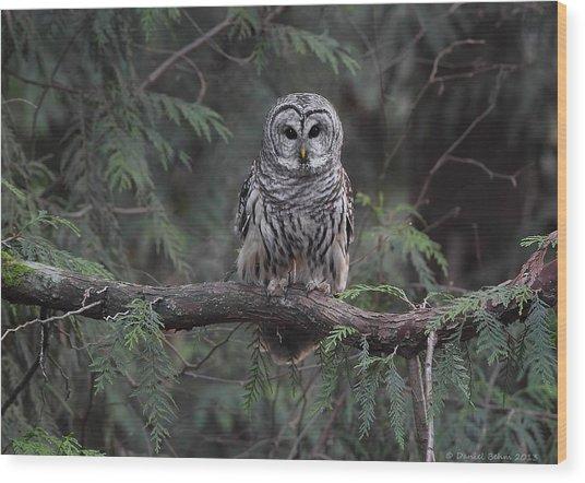 Barred Owl Stare Down Wood Print