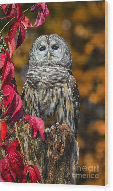 Barred Owl Wood Print by Todd Bielby