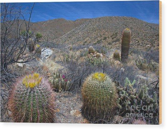 Barrel Cacti In Bloom Wood Print