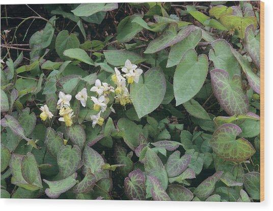 Barrenwort (epimedium X Versicolor) Wood Print by Sally Mccrae Kuyper/science Photo Library