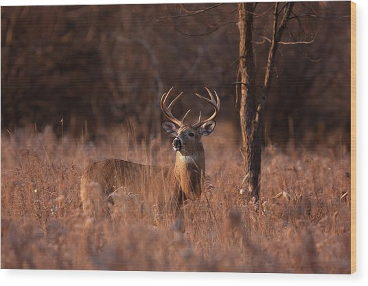 Basking In The Light - White-tailed Buck Wood Print by Jim Cumming