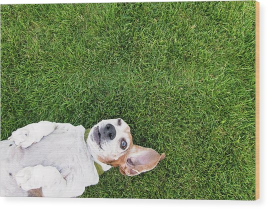 Bassett Hound On Back Wood Print by Paws On The Run Photography