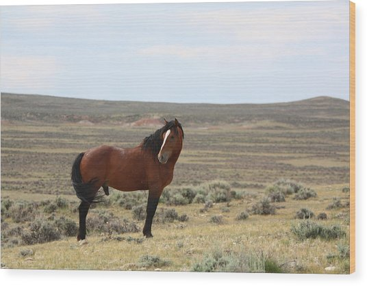 Bay Mustang Stallion In Wyoming Wood Print